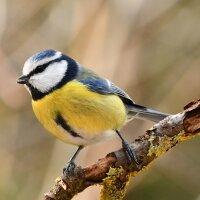 Birdcall Blue Tit