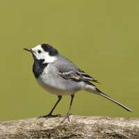 Birdcall Pied Wagtail