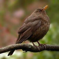 Vogelstimme - Amsel Klein
